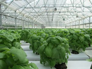 greenhouse cultivation, cultivators