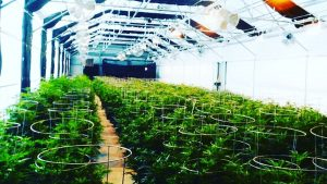Marijuana grower resumes, cannabis cultivation, marijuana growers, resume writing, marijuana growing