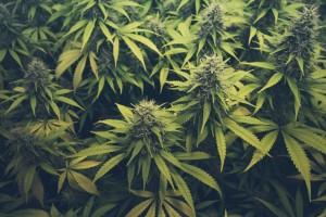 Cannabis compliance jobs, California cannabis industry, METRC
