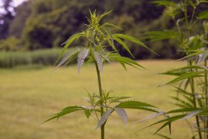 hemp industry, Farm Bill