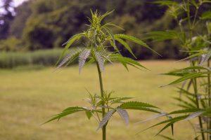 hemp industry, Farm Bill