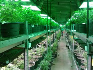 cannabis cultivation career training