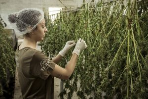 Female cannabis professional tending to drying cannabis plants.