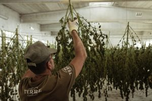 cannabis industry unionizing